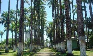利蒙棕榈树